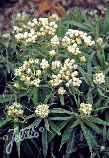 Jim S Favorite Flower Anaphalis Pearly Everlasting