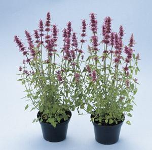 Jim S Favorite Agastache Flower Garden Seeds