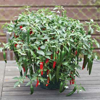 exceptionally early!!! Ancho Ranchero Hybrid Hot Pepper Seeds Very productive