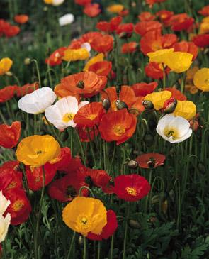 Our favorite poppy flower seed page nw65 iceland poppy natural mix papaver nudicale mightylinksfo Choice Image