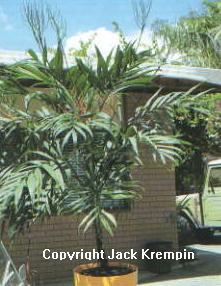 P30 Parlor Palm Neantha Bella