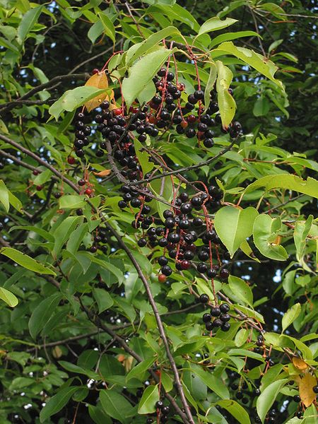how to grow rainier cherry tree from seed