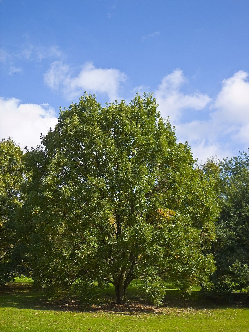 oak tree seeds from around the world