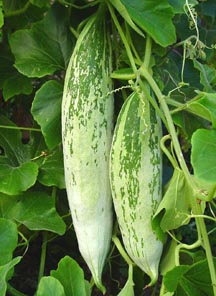 Rgs155 India Short Snake Gourd Trichosanthes Anguina
