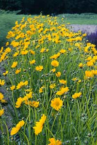 Bm62 Cutting Gold Coreopsis Large Golden Yellow Flowers