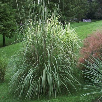 Seed packets of ornamental grasses from around the world for Ornamental grass with purple plumes