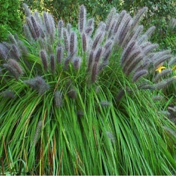 Seed packets of ornamental grasses from around the world sf203 moudry pennisetum alopecuroides viridescens workwithnaturefo