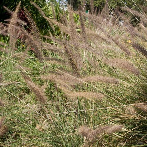 Carex Comans Bronze Curls 250 Seed Ornamental Grass Bulk Packet