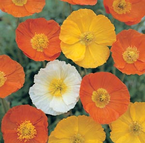 Our favorite poppy flower seed page a note from one of our customers mightylinksfo