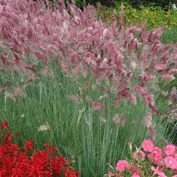 Ornamental grass seeds 11 top 100 images ornamental for Ornamental grass that looks like wheat