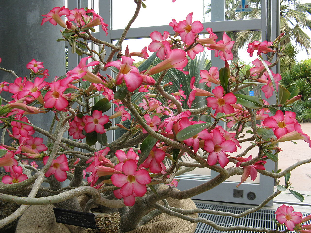 Unusual houseplant seeds from around the world 3557 desert rose adenium obesum izmirmasajfo
