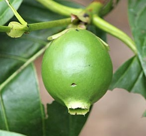 Unusual and Exotic Fruit and Nut Plant Seeds From Around the