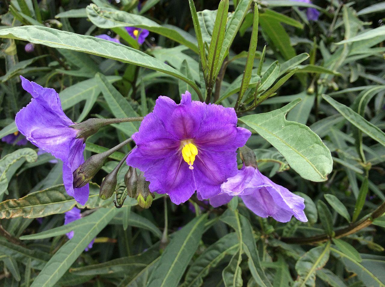 Seeds for lawn and shrub plants for Purple flower shrub california
