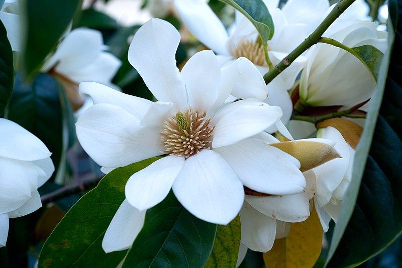 Magnolia Tree Seeds