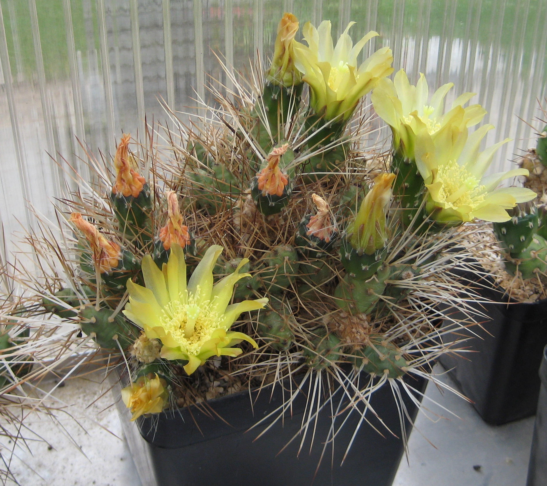 Unusual And Exotic Cacti Plants From Seeds