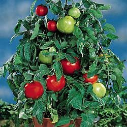 Tomatoes – Bonnie Plants