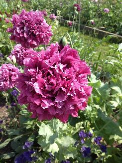 Our favorite poppy flower seed page sf070 purple passion poppy papaver paeoniflorum mightylinksfo