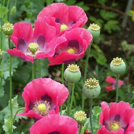 Our favorite poppy flower seed page sf086 pepperbox poppy papaver somniferum pepperbox mightylinksfo