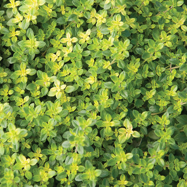 Sf122 Aromatic Lemon Thyme Thymus Gioides