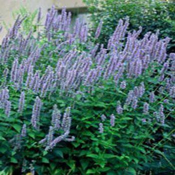 Jim S Favorite Garden Herb Seeds
