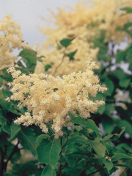 Seedman S Japanese Tree Lilac Seeds