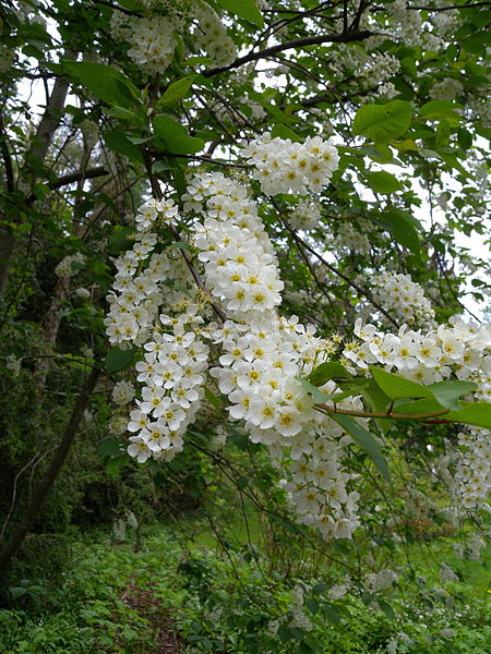 trees with white flowers in spring  flower, Natural flower