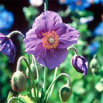 Our favorite poppy flower seed page 3489 hensol violet meconopsis betonicifolia violet mightylinksfo