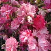 Jim S Favorite Dianthus Carnation Flower Garden Seeds