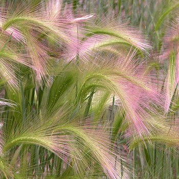 seed packets of ornamental grasses from around the world, Natural flower