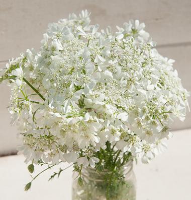 Seeds for unusual cut flower arrangement plants 3619 white finch oralaya grandiflora mightylinksfo