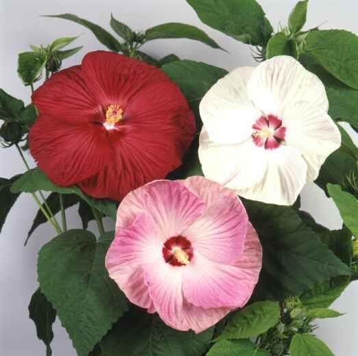 seeds for hibiscus plants. Black Bedroom Furniture Sets. Home Design Ideas