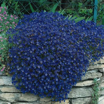 Aubrieta flower garden seeds sow aubrieta ground cover seed indoors 6 8 weeks before the last expected frost date use starter trays using a sterilized mix mightylinksfo