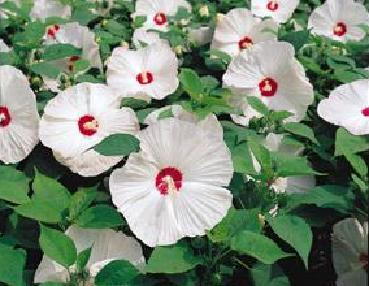 Seeds For Hibiscus Plants