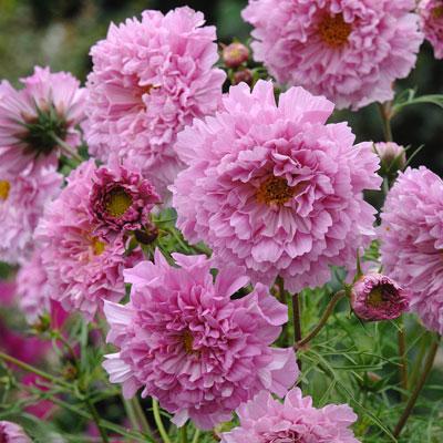 IP242 Double Click Rose Bonbon Cosmos Bipinnatus