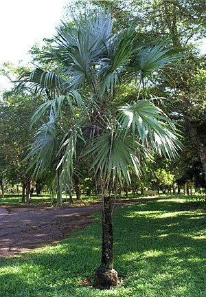 Rhm950 Thatch Palm Thrinax Radiata