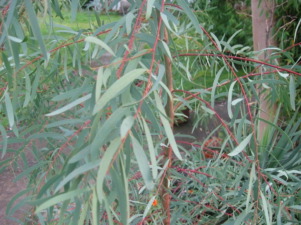 Eucalyptus Seeds From Around The World
