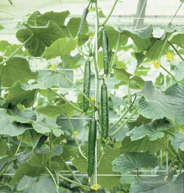 recipe: korean cucumber plant [27]
