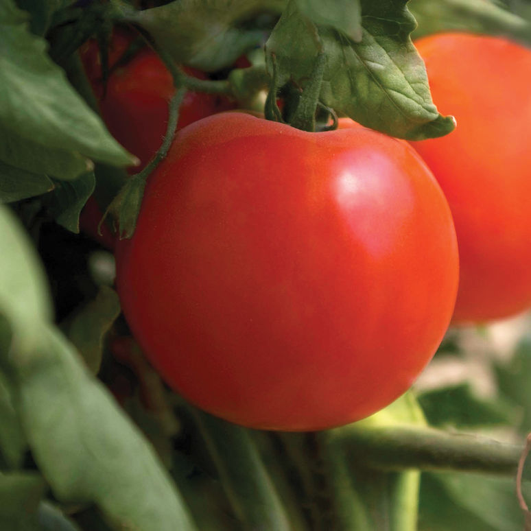 Tomato Bing Cherry EXCEPTIONAL FLAVOR 65 DAYS FROM TRANSPLANT COMBINED SHIPPING