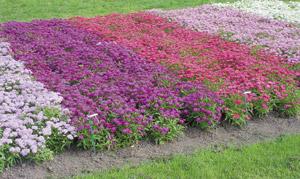 iberis-plant