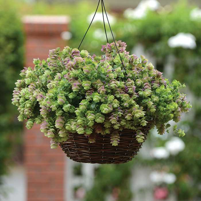 seeds for hanging basket plants. Black Bedroom Furniture Sets. Home Design Ideas