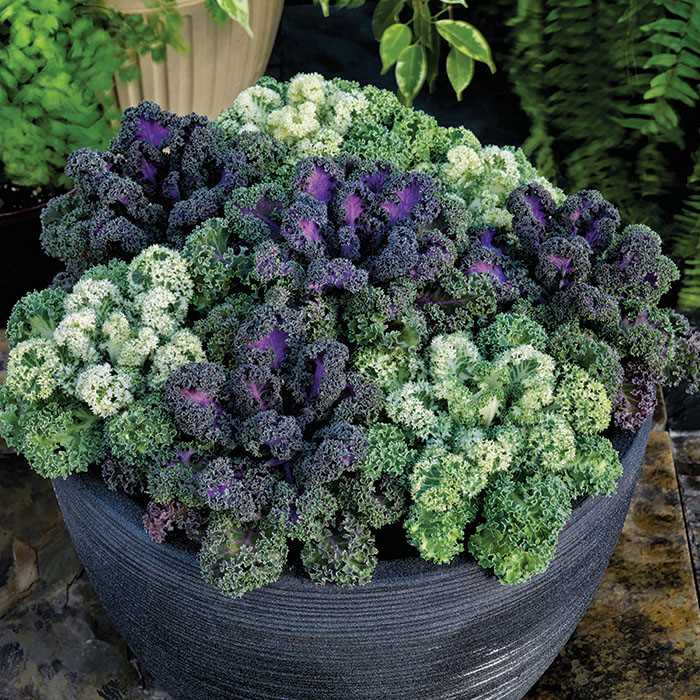 Ornamental Cabbage Kale Seeds From Around The World In