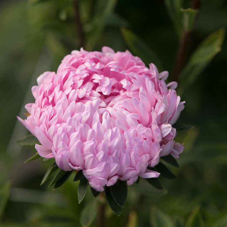 Seed /'Aster of Peony Pink Tower Pink-Summer Aster Marguerite Peony