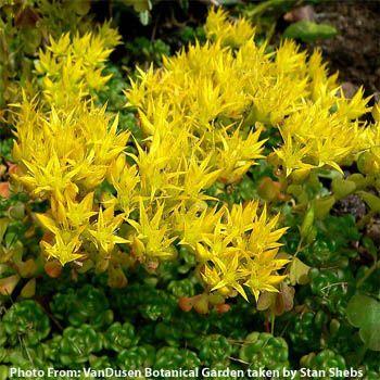 Jims favorite sedum seeds trn823 oregon stonecrop sedum oreganum mightylinksfo
