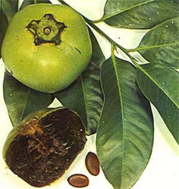 Green Fruit Tree Identification Part - 26: TRZ019 Black Sapote ( Diospyros Dignya )