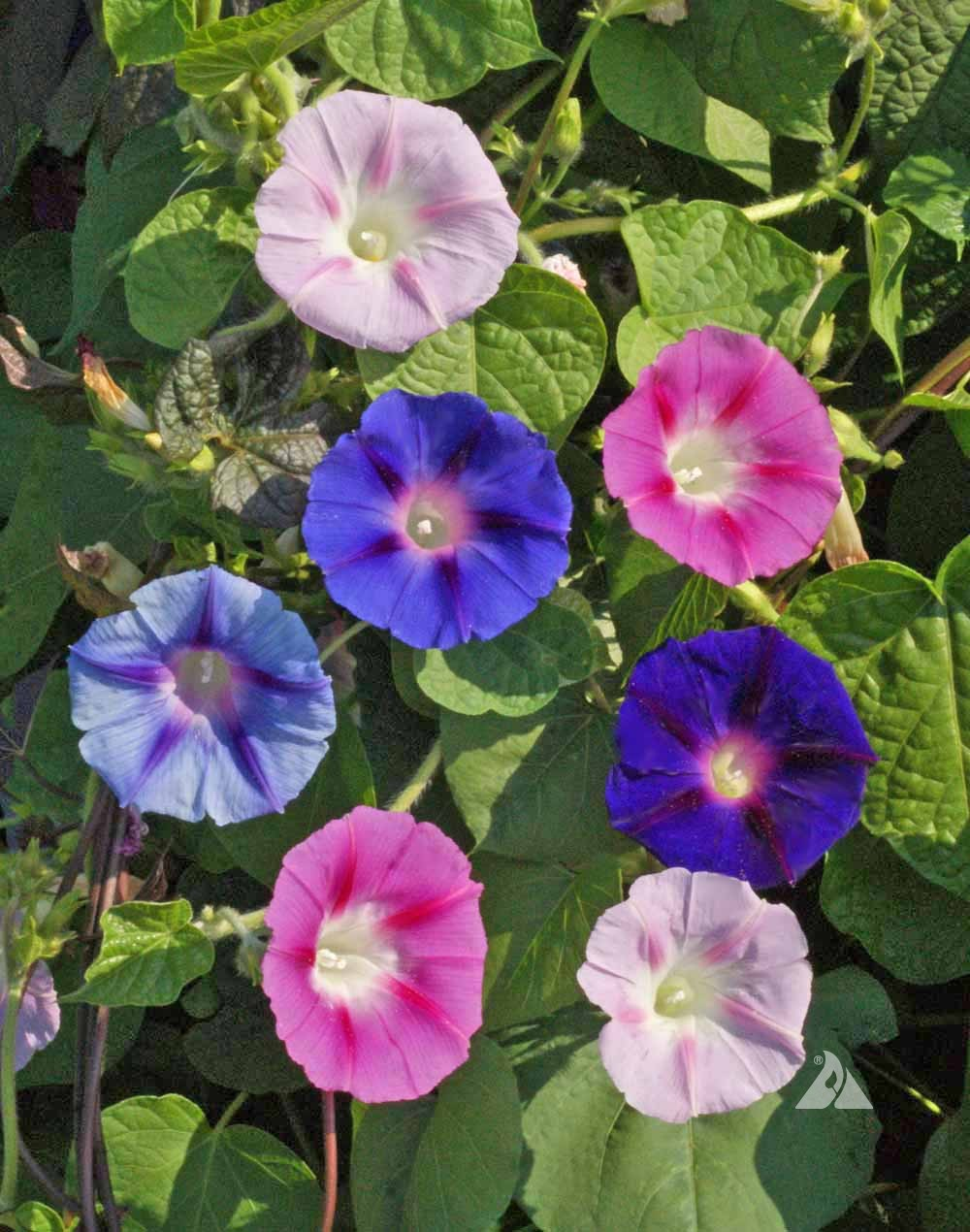 Morning Glory Vine Seeds From Around The World