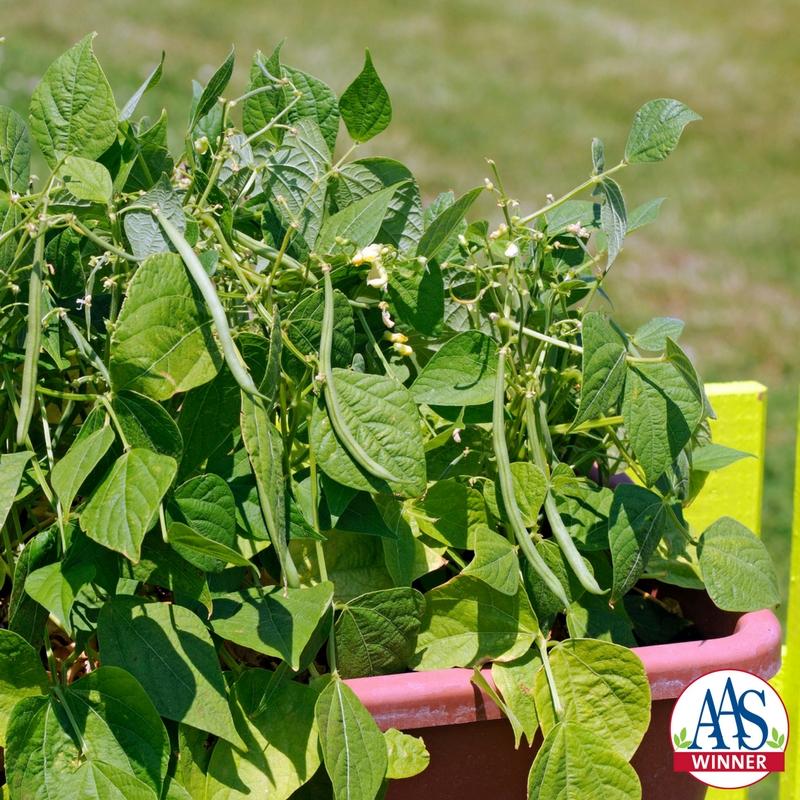 Bush Bean Varieties
