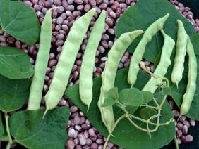Blue Lake Bush Bean Seeds