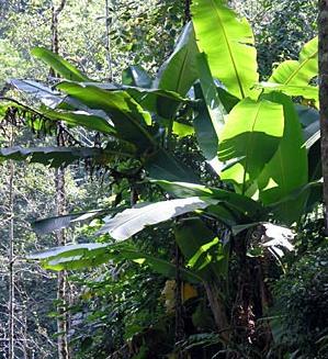 Nw67 Darjeeling Banana Musa Sikkimensis I
