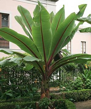Z2825 Ethiopian Banana Ensete Ventricosum